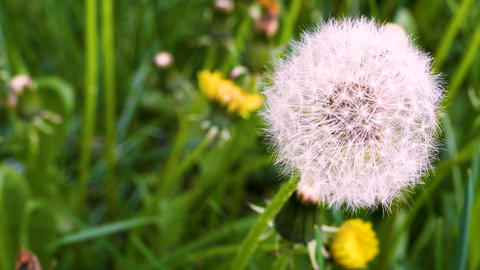 Macro video shooting motion of blossoming dry dandelion flowers Footage
