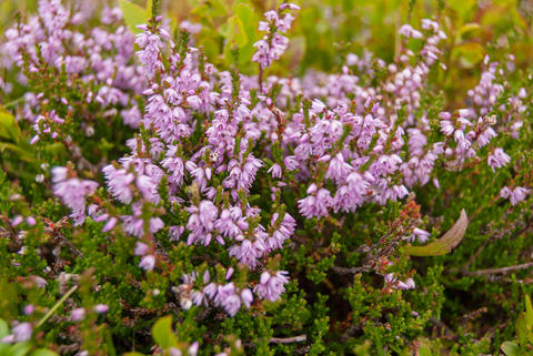 Beautiful Heather flowers in the mountains of Switzerland Photo