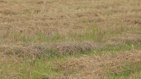 Mown straw lying on green grass Footage