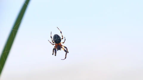 Garden spider with cross on back Footage