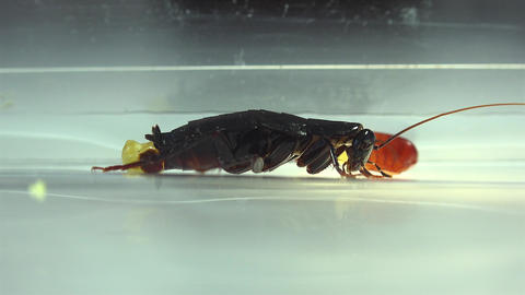 The oriental cockroach (Blatta orientalis) birth egg cases (ootheca) isolated on Footage