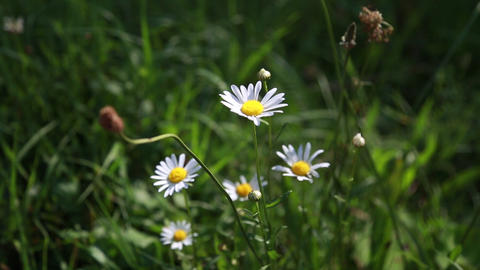 Field daisies are rocking in the wind Footage