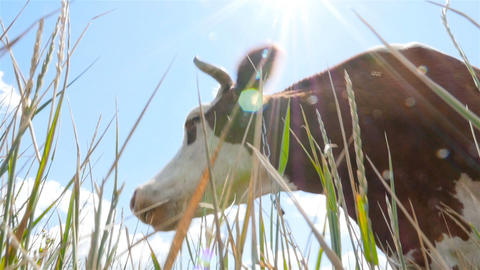 Close-up of a cow against the background of the sun. Close-up. Slow motion Live Action