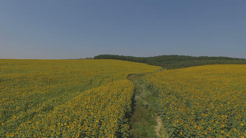 4k Flying over fields of sunflowers, aerial video. Fields... Stock Video Footage