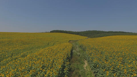 4k Flying over fields of sunflowers, aerial video. Fields of sunflowers Live Action