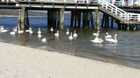 Sopot, Poland. Bay Of Gdansk, Pier And Flock Of Swans On Beach Footage