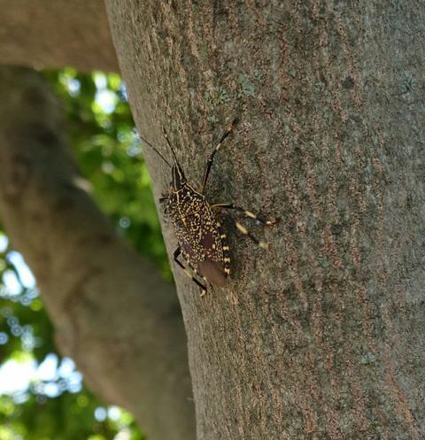 stink bugs Erthesina fullo Photo