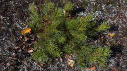 Small bushes of evergreen Siberian dwarf pine or Japanese stone pine in tundra Footage