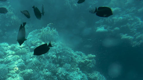 Coral reef and beautiful fish. Underwater life in the ocean Footage