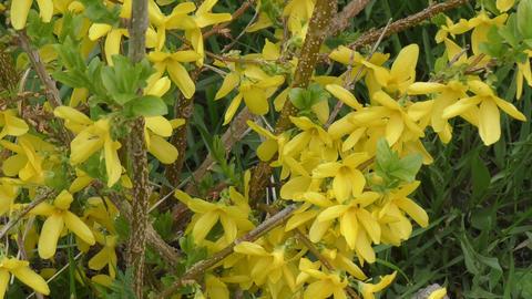 Yellow flowers Forsythia Footage
