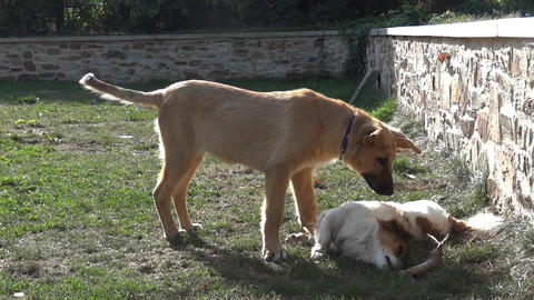 Two dogs are playing near a low wall fleeing in all directions 73 Footage