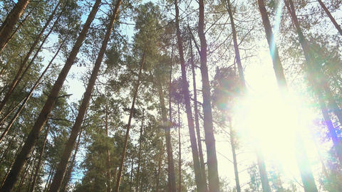High pines in forest at beautiful day, sun through trees.... Stock Video Footage
