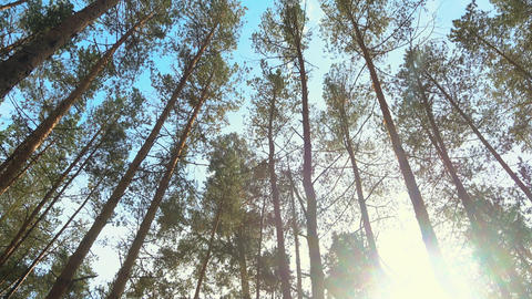 High pines in forest at beautiful day, sun through trees. Pine forest Live Action