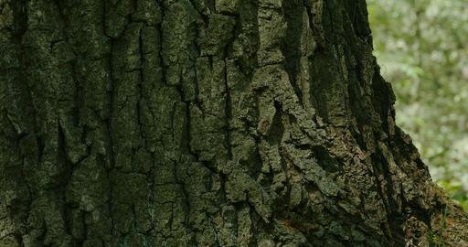 bark huge tree Footage