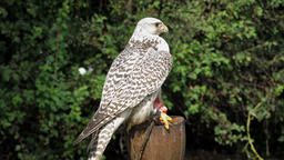 The gyrfalcon. Falco rusticolus. The largest of the falcon species Live Action