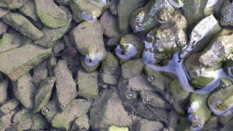 Tadpole rests on green algae covered pebbles in the water and suddenly swims GIF