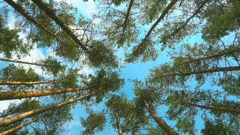 High pines and sky at beautiful day. Pine forest Live Action