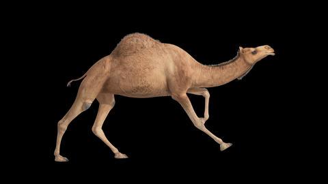 CG camel cyclical running on alpha channel Animation