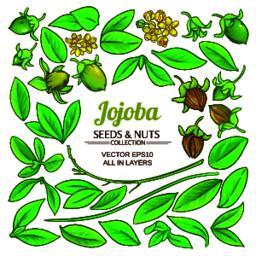 jojoba plant vector Vector