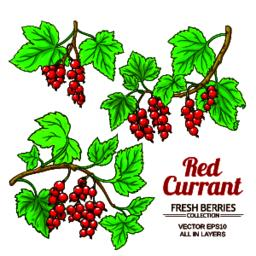 red currant plant vector Vector