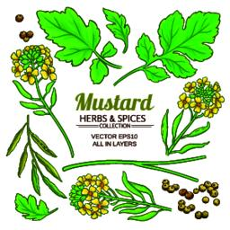 mustard plant vector Vector