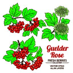 guelder rose plant Vector