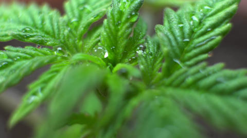 Cannabis Strains for Indoor Growing close-up. Growbox equipment for grow weed Live Action
