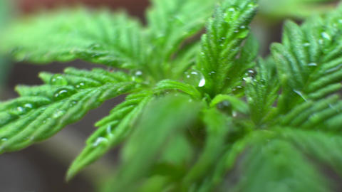 Cannabis Strains for Indoor Growing close-up. Growbox... Stock Video Footage