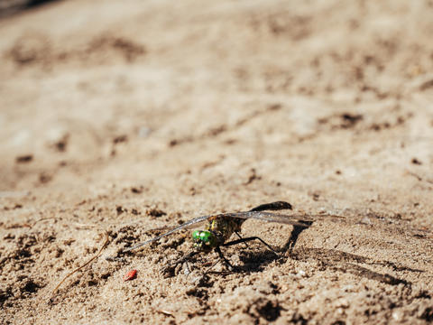 The dragonfly with green eyes and transparent wings is on sand Photo