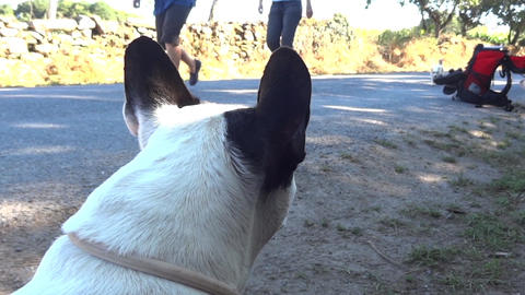 White dog that looks forward to the people who go on the road and that is her do Footage