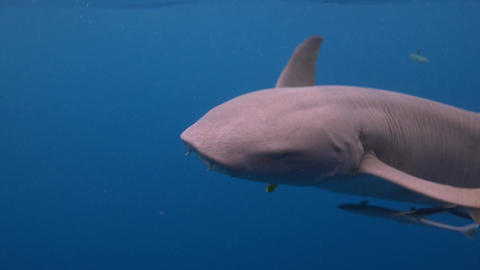 Sharks constantly begging at the stern of the dive boat Footage