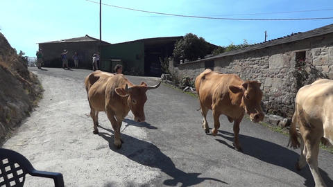 Brown cows herd that are taken home by neatherd and his dog 28 Footage