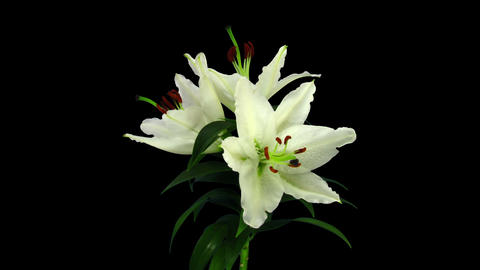 Growing, opening and rotating white stargazer lily in RGB + ALPHA matte format Footage