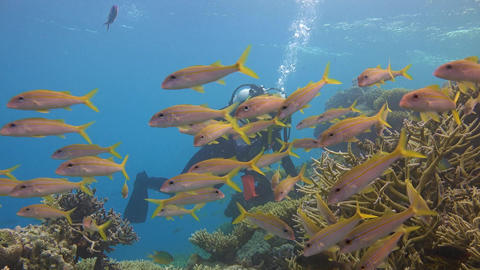 Underwater videographer shoots a flock of colorful tropical fish by the goatfish Live Action