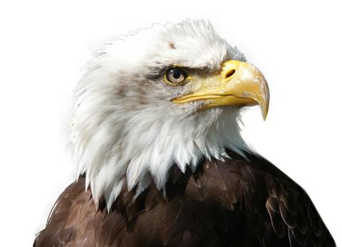 Large majestic bird eagle on white background Photo