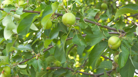 Apples on branches of Apple trees Live Action