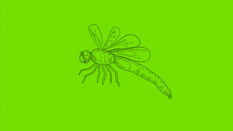 Dragonfly Flying Drawing 2D Animation Animation