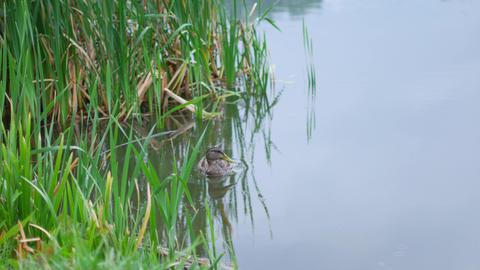 Ducks swim in the lake. Rainy summer day Footage