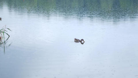 Ducks swim in the lake. Rainy summer day Footage