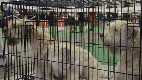 Three playful Schnauzer dogs sitting in cage at pet competition, pedigree pets Live Action
