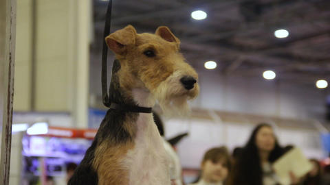 Welsh Terrier sitting at hall and looking around, dog exhibition, pedigree pet Live Action