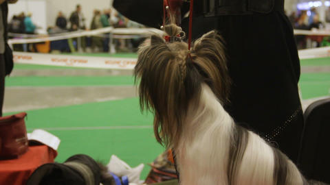 Owner feeds cute Yorkshire Terrier a treat at dog exhibition, pedigree pet Live Action