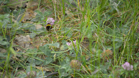Bumblebee Sits on Flower Footage