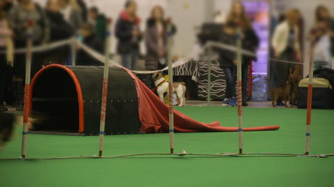 Dog agility competition, small pet running and performing tricks at show Footage