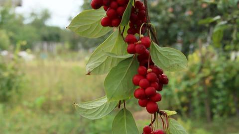 Branches of red schisandra. Ripe schizandra on liana in garden Archivo