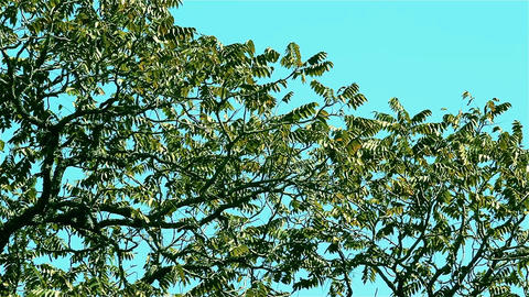 Tree Top With Blue Sky Footage