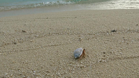 The hermit crab runs along the shore of the uninhabited Islands of the Maldives Footage