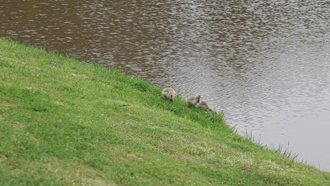 Three baby geese at a pond Live Action