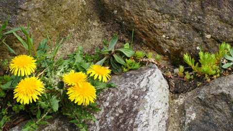 Dandelion that grows on stone walls ライブ動画