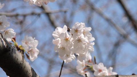 桜 東京 PIX 1211 1 Footage